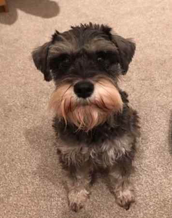Missing Schnauzer Dog in London Se5