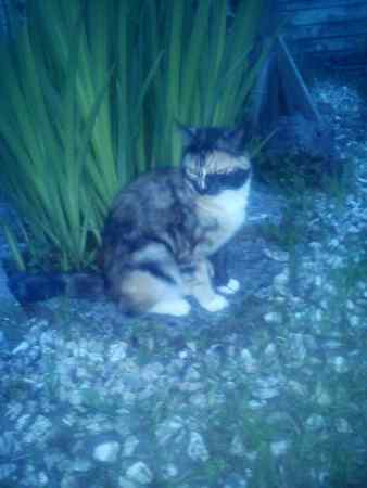 Missing Tortoiseshell Cats in Farnborough