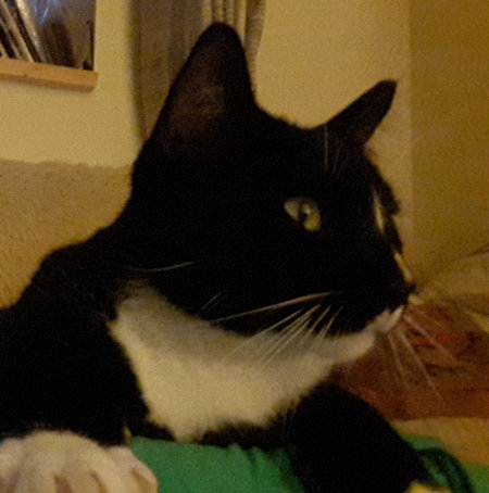 Missing Moggy Cats in South Nutfield, Redhill