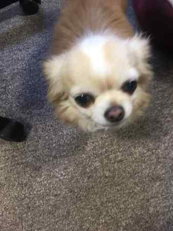 Missing Chihuahua Dogs in Hinckley