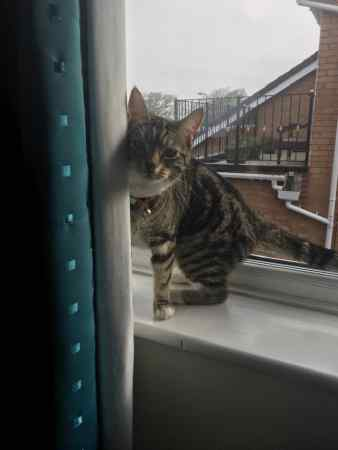 Missing Moggy Cat in Southport