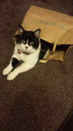 Missing Moggy Cat in Hayes
