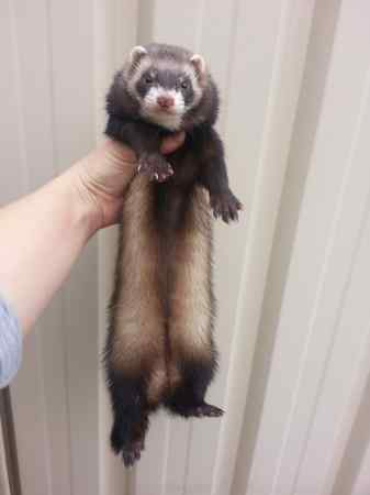 Missing Unknown - Other Ferrets in Impington