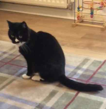 Missing Domestic Short Hair Cats in Keighley