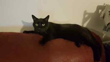 Missing Domestic Short Hair Cats in Raynes Park
