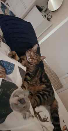 Missing Tabby Cat in Taunton