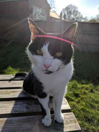 Missing Domestic Short Hair Cats in Mirfield
