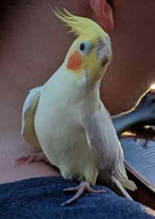 Missing Cockatiel Birds in Nethybridge