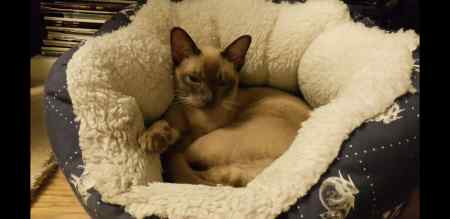Missing Burmese Cats in Woodford Green