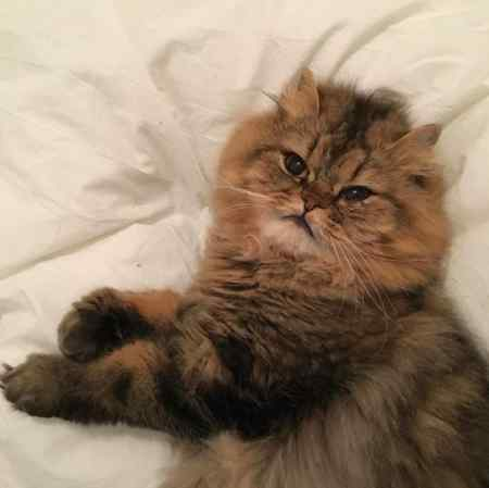 Lost Persian Cat in LONDON