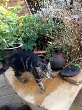 Missing Tabby Cat in Crystal Palace