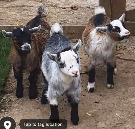 Missing Goat Exotic in Doncaster