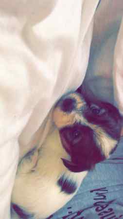 Missing Shih Tzu Dogs in Slough