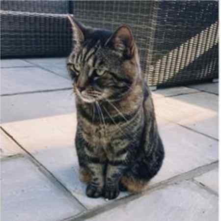 Missing Domestic Short Hair Cat in Riddlesdown, Purley