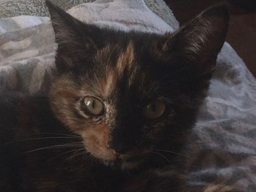 Missing Tortoiseshell Cats in EALING COMMON