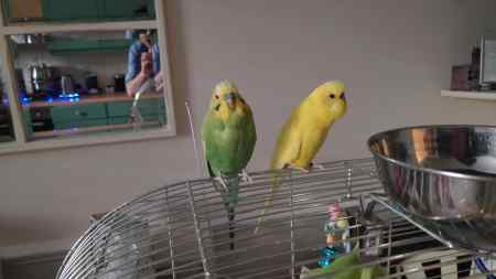 Missing Budgie Birds in Holloway