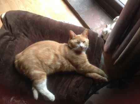 Missing Domestic Short Hair Cats in Guist Norfolk