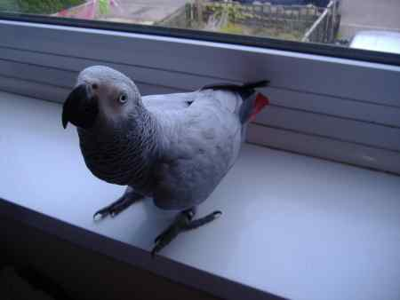 Missing Parrot, Parakeet Bird in Shirebrook/langwith Junction