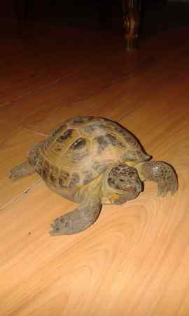 Missing Tortoise Exotic in Rotherhithe