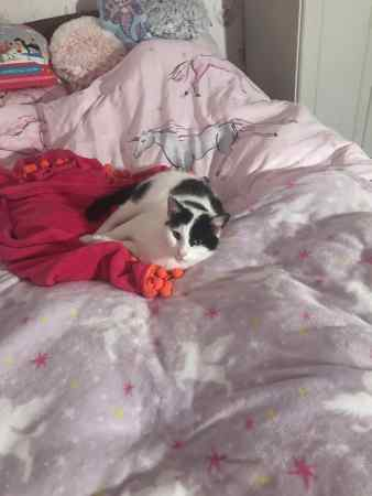 Missing Moggy Cat in St Asaph