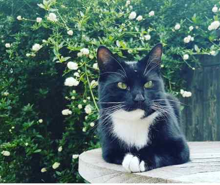 Missing Domestic Short Hair Cat in Barnes