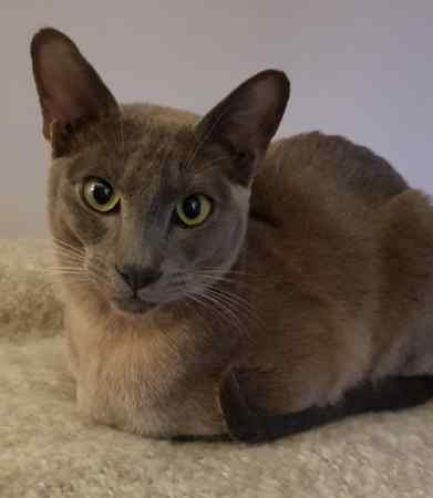 Missing Tonkinese Cat in Bolton