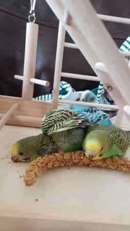 Missing Budgie Birds in London