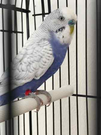 Missing Budgie Bird in Chatteris