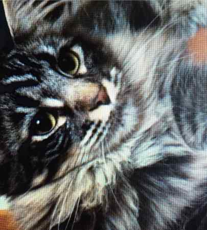 Missing Maine Coon Cat in Scremerston Berwick-Upon-Tweed