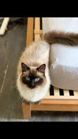Missing Ragdoll Cat in East Dulwich