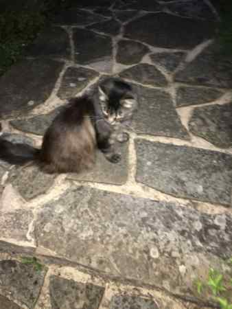 Missing Semi-Long Hair Cat in Croydon