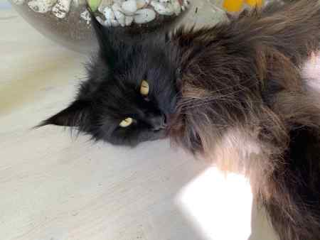 Missing Maine Coon Cat in Streatham Common