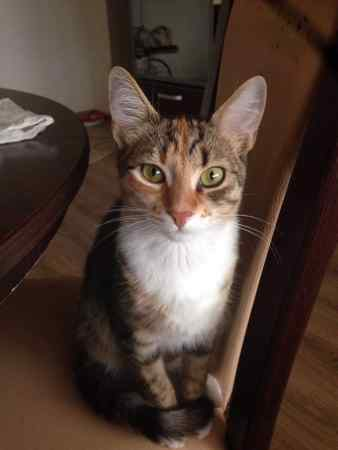 Missing Domestic Short Hair Cat in Carterton