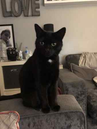 Missing Domestic Short Hair Cat in Broughton Astley