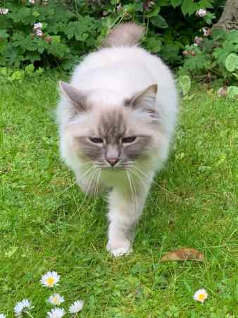 Missing Birman Cat in Caterham