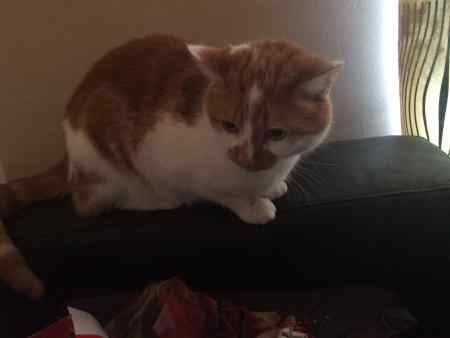 Missing Domestic Short Hair Cat in Aberdeen