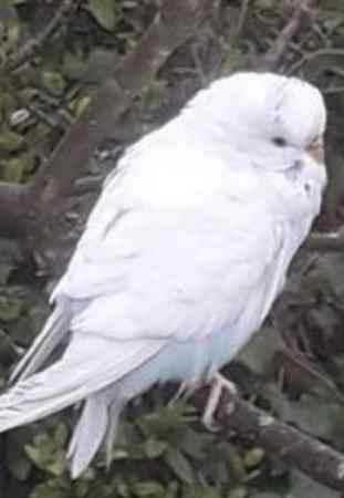 Missing Budgie Bird in Redhill