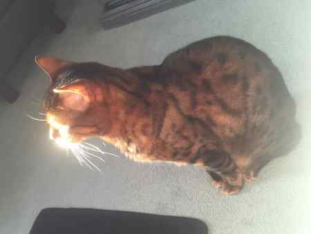 Missing Bengal Cat in Reading