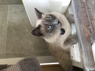 Missing Ragdoll Cat in Tooting, London
