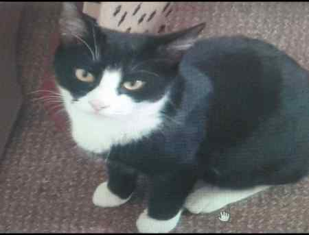 Missing Domestic Short Hair Cat in WEDNESBURY