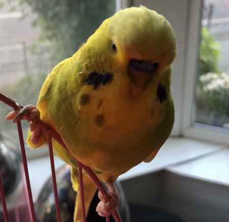 Missing Budgie Bird in Accrington