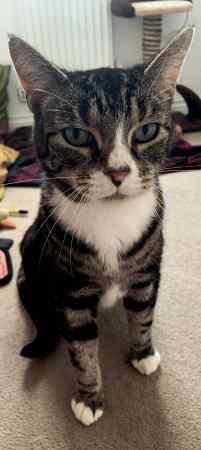 Missing Moggy Cat in Andover