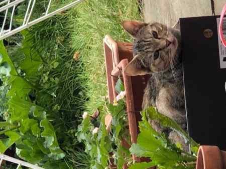 Missing Tabby Cat in London