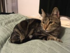 Missing Tabby Cat in Blackthorn, Bicester