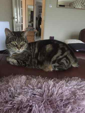 Missing Moggy Cat in Pencoed