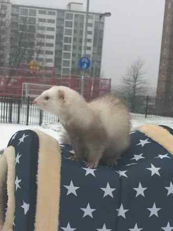 Missing Unknown - Other Ferrets in Salford