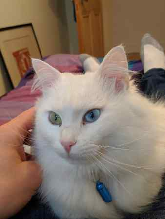 Missing Turkish Van Cat in Leith/ Edinburgh
