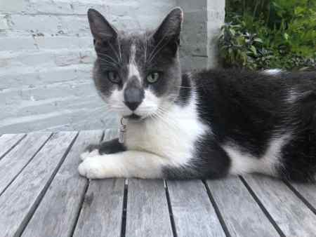 Missing Moggy Cat in Bedford