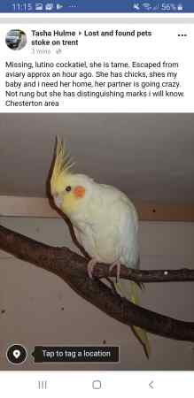 Missing Cockatiel Birds in Newcastle