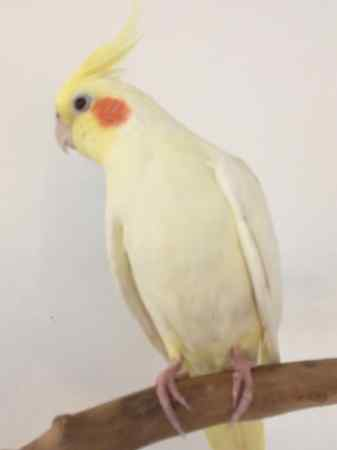 Missing Cockatiel Birds in New Cross Gate